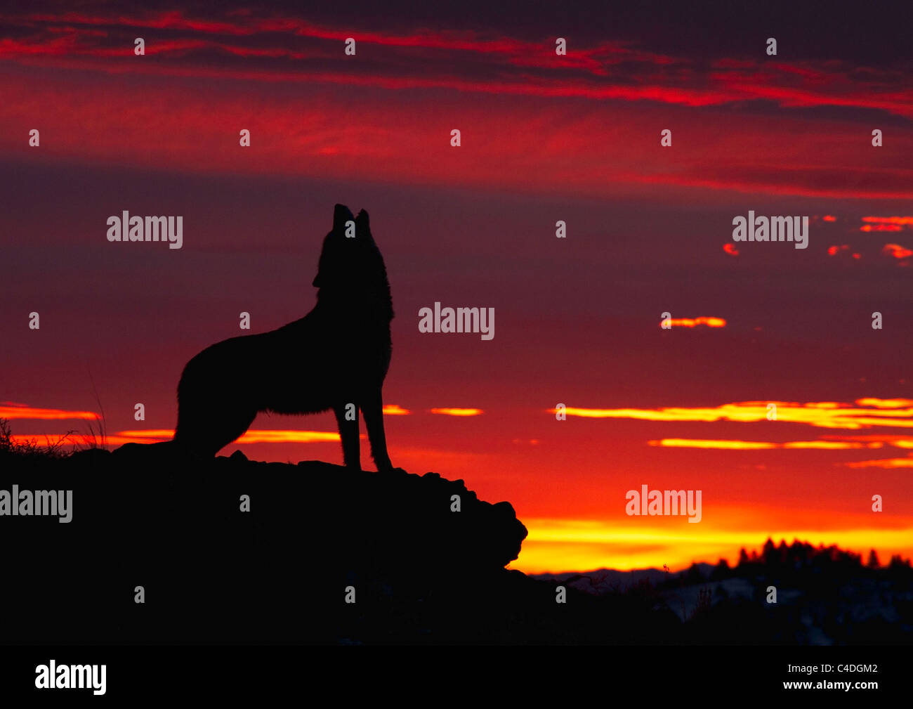 Grey Wolf, Canis lupus howling at sunrise - Stock Image