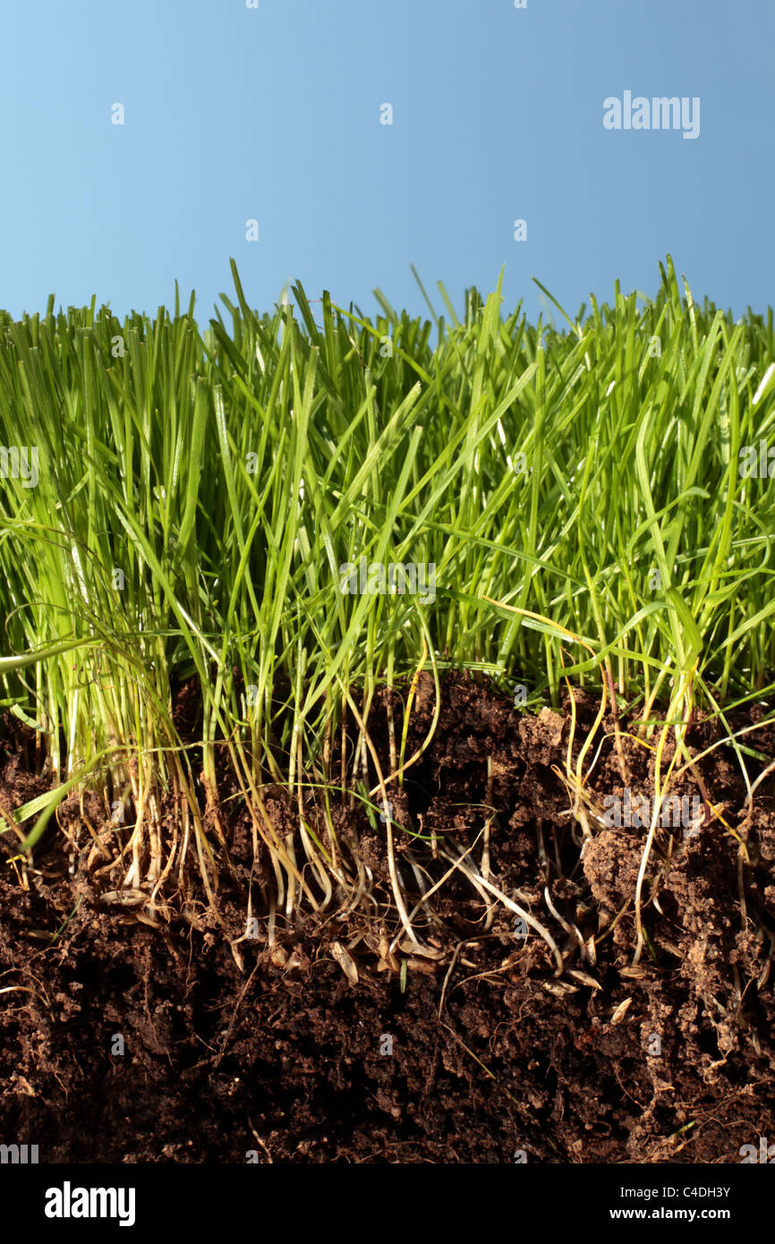 Soil, grass, roots and blue sky in close up cross-section detail. Grass grown from seed with the seeds visible in - Stock Image