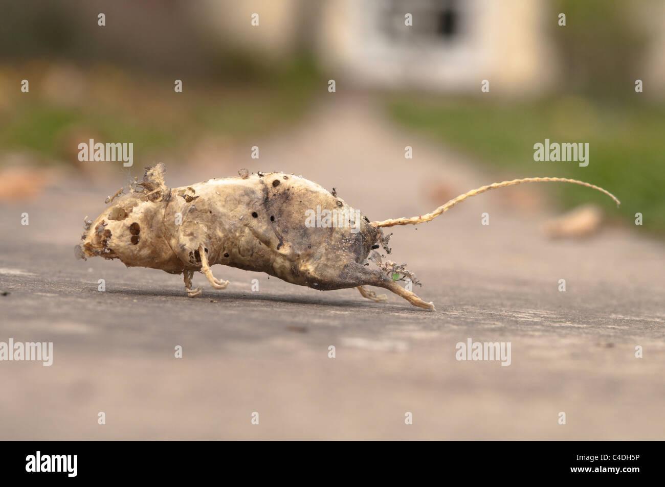 House Mouse Skeleton