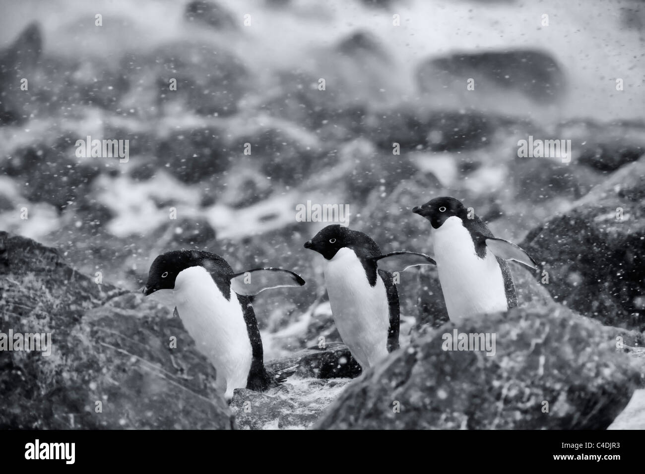 3 cute Adelie penguins march in line flippers out on rocky beach during windy snow storm, white-out antarctic blizzard - Stock Image