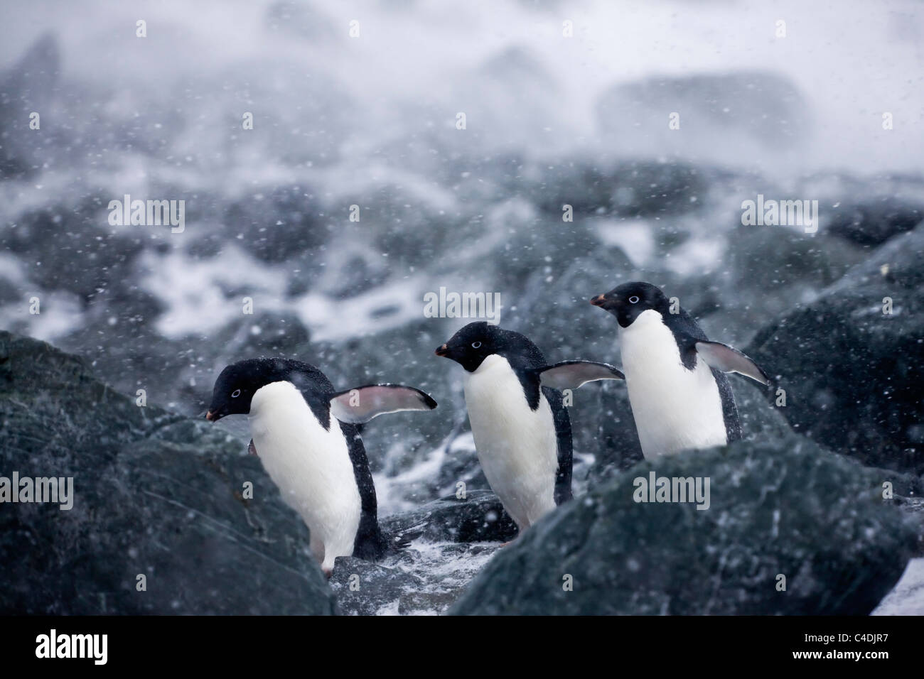 3 Adelie penguins march in unison on rocky beach in white-out snow storm during windy antarctic blizzard South Orkney - Stock Image