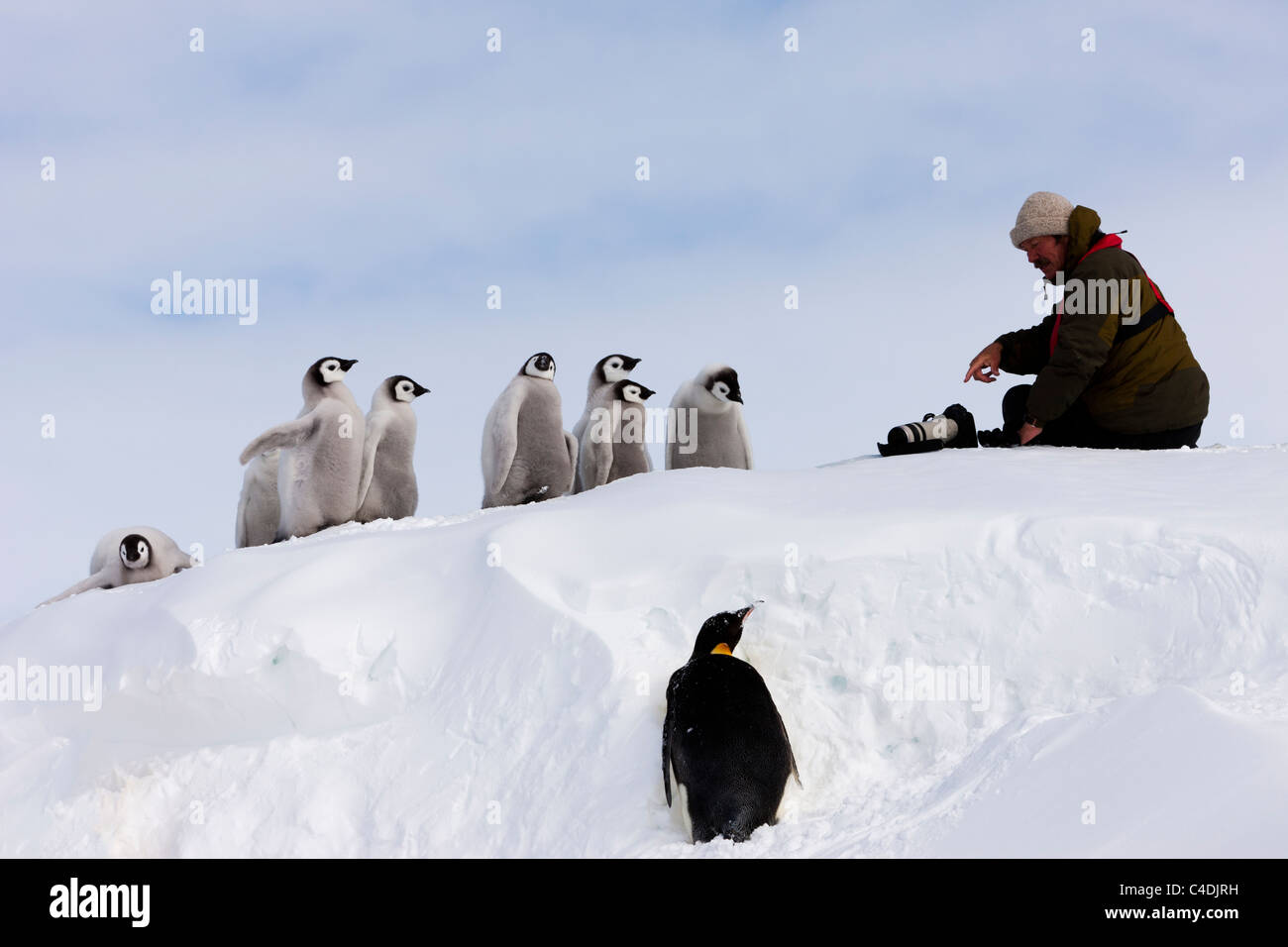 Funny view of Wildlife Photographer Jonathan Scott talking to cute Emperor Penguin Chicks on snow mound in Antarctica - Stock Image