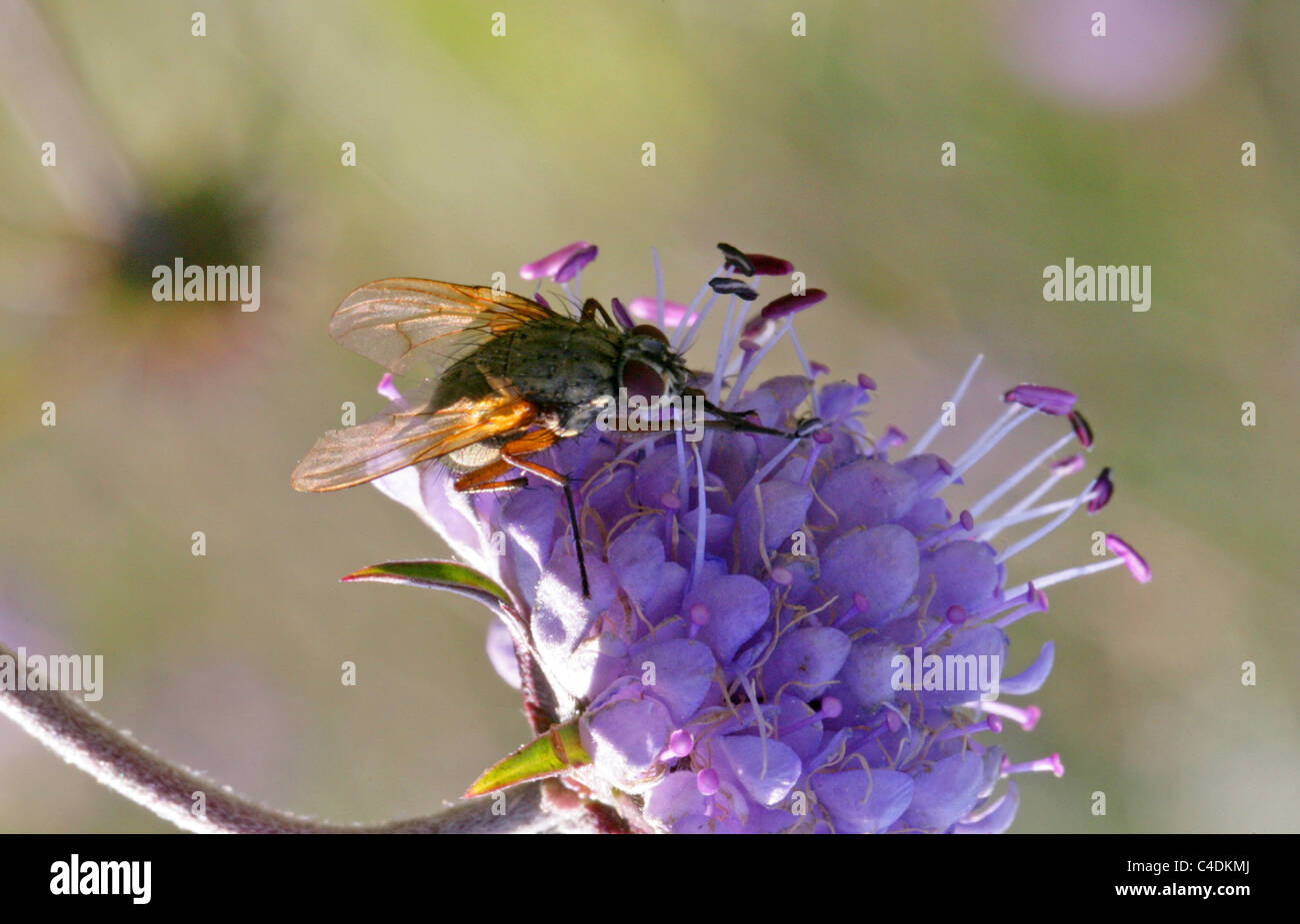 A Muscid Fly on a Devil's-bit Scabius Flower. - Stock Image