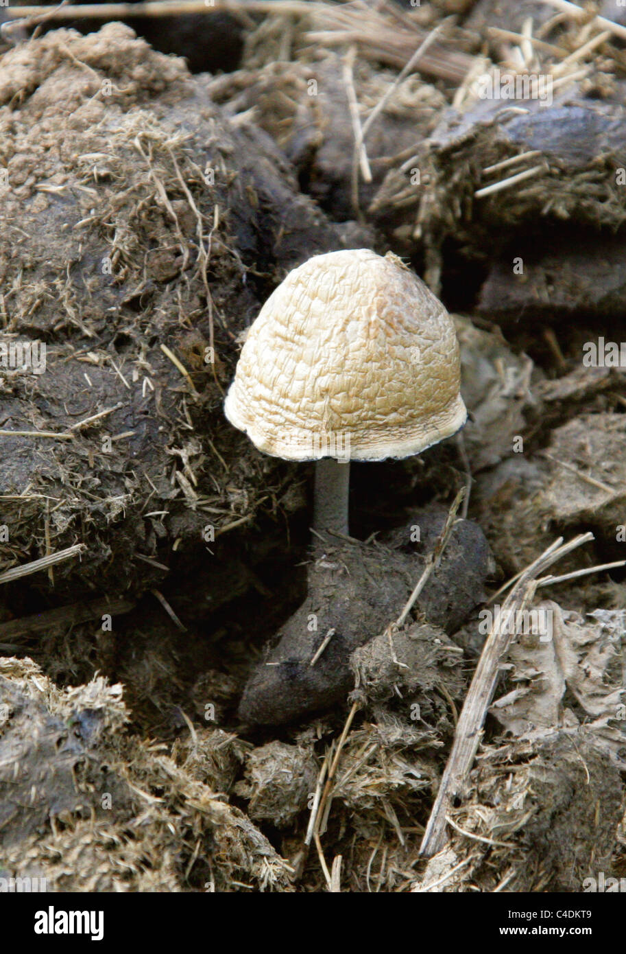 Snowy Inkcap, Coprinopsis nivea, Psathyrellaceae. Growing on Old Cow Dung. Previously Coprinus niveus, Syn. Coprinus - Stock Image