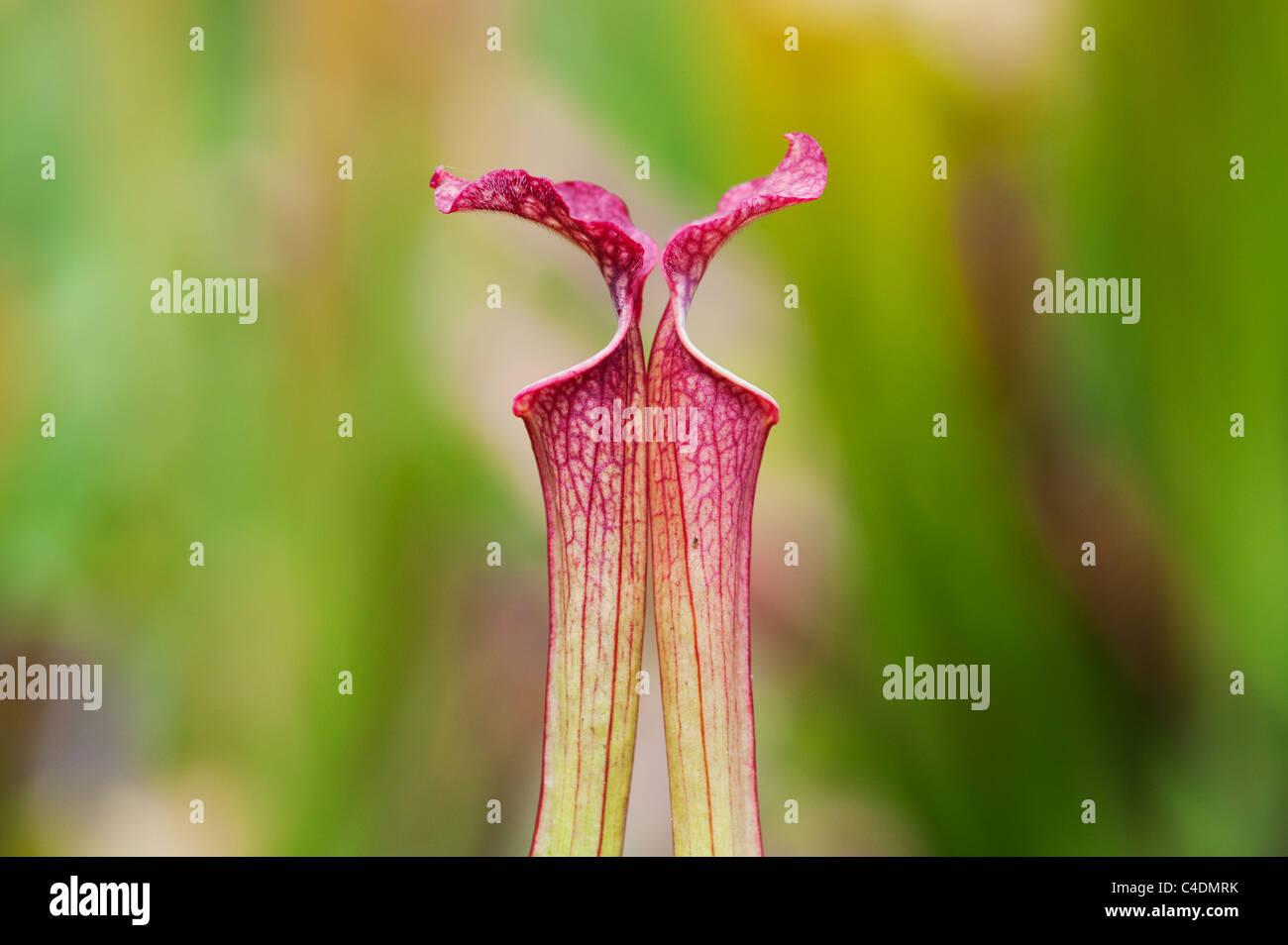 Sarracenia x farnhamii.  Pitcher plant. Carnivorous plant - Stock Image