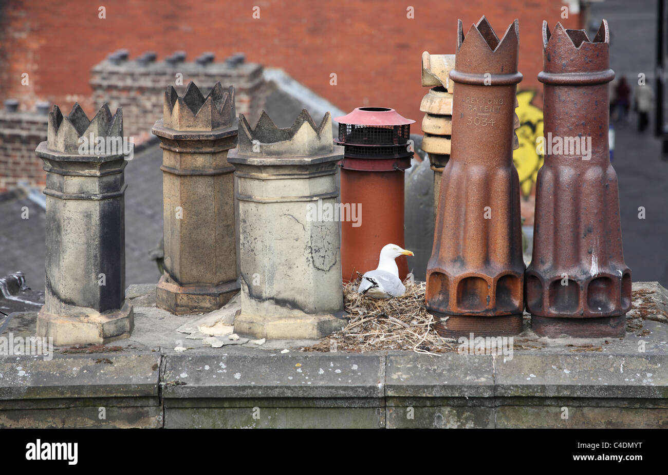 A herring gull sits upon its nest between chimney pots in Newcastle upon Tyne, England UK - Stock Image