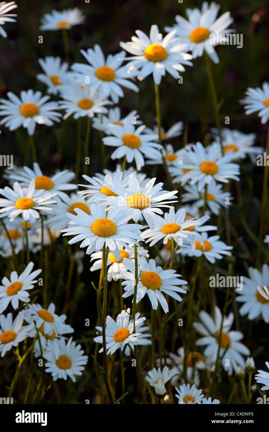 Ox-eye daisies Leucanthemum vulgare Asteraceae view of flower heads in evening light Stock Photo