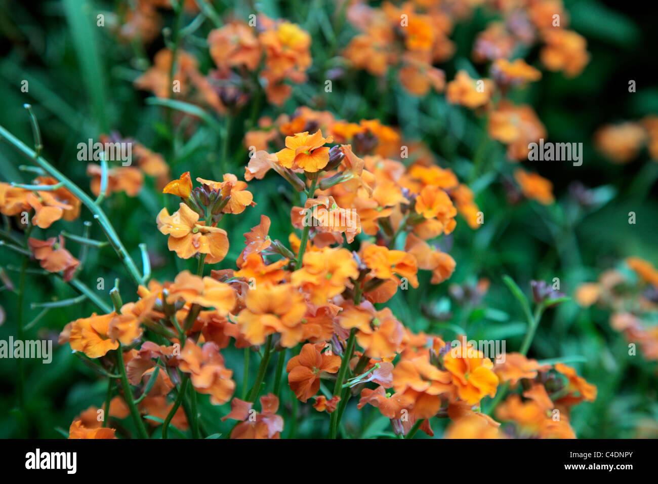 Erysimum 'Apricot Twist' - Orange Perennial wallflower - Stock Image