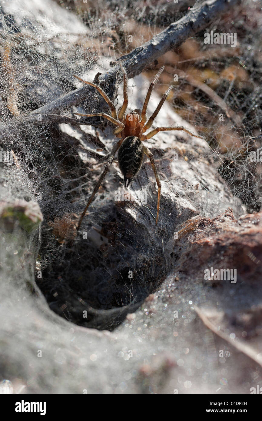 Grass funnel weaver spider Agelena labyrinthica Agelenidae at the entrance to the funnel in dew covered web UK - Stock Image
