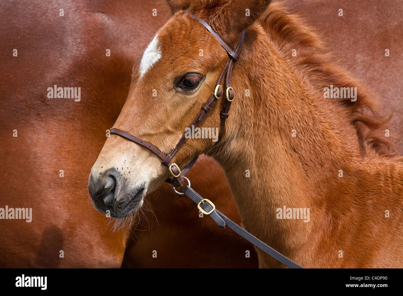 Portrait of Oldenburg Stallion Foal with Mare at the 2011 Royal Cornwall Showground Show, Wadebridge, Cornwall County, Stock Photo