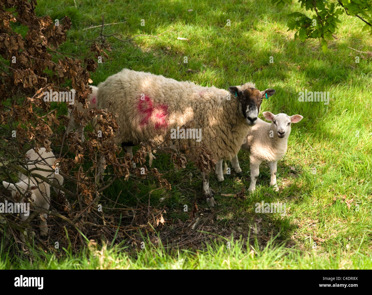 Ewe and lamb - Stock Image