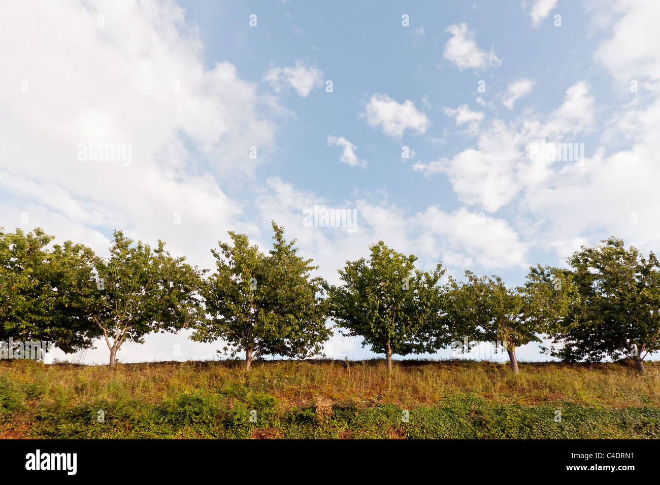 Small Trees on hill against blue sky and clouds - Stock Image