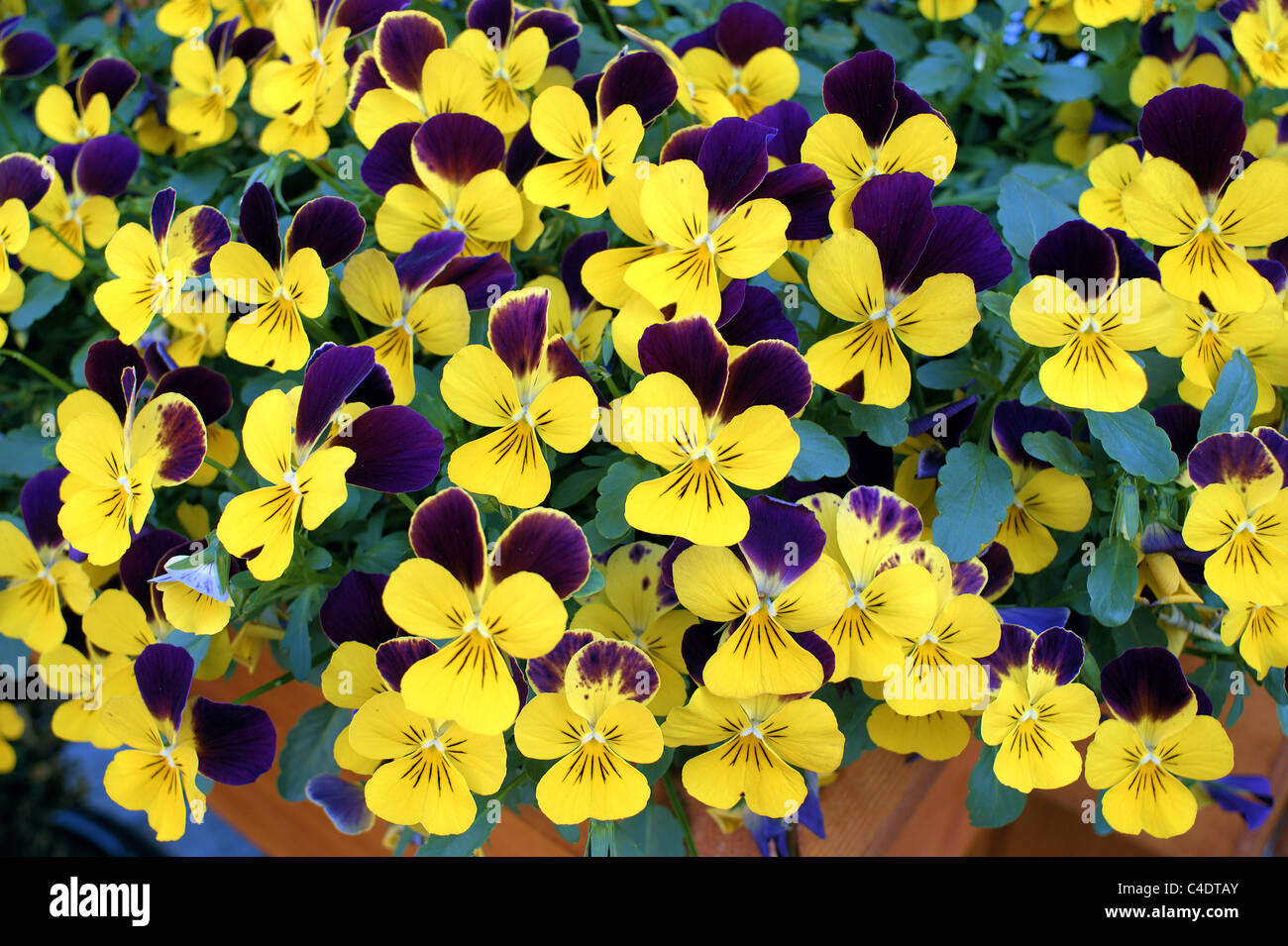 Yellow pansies pansy Viola tricolor - Stock Image