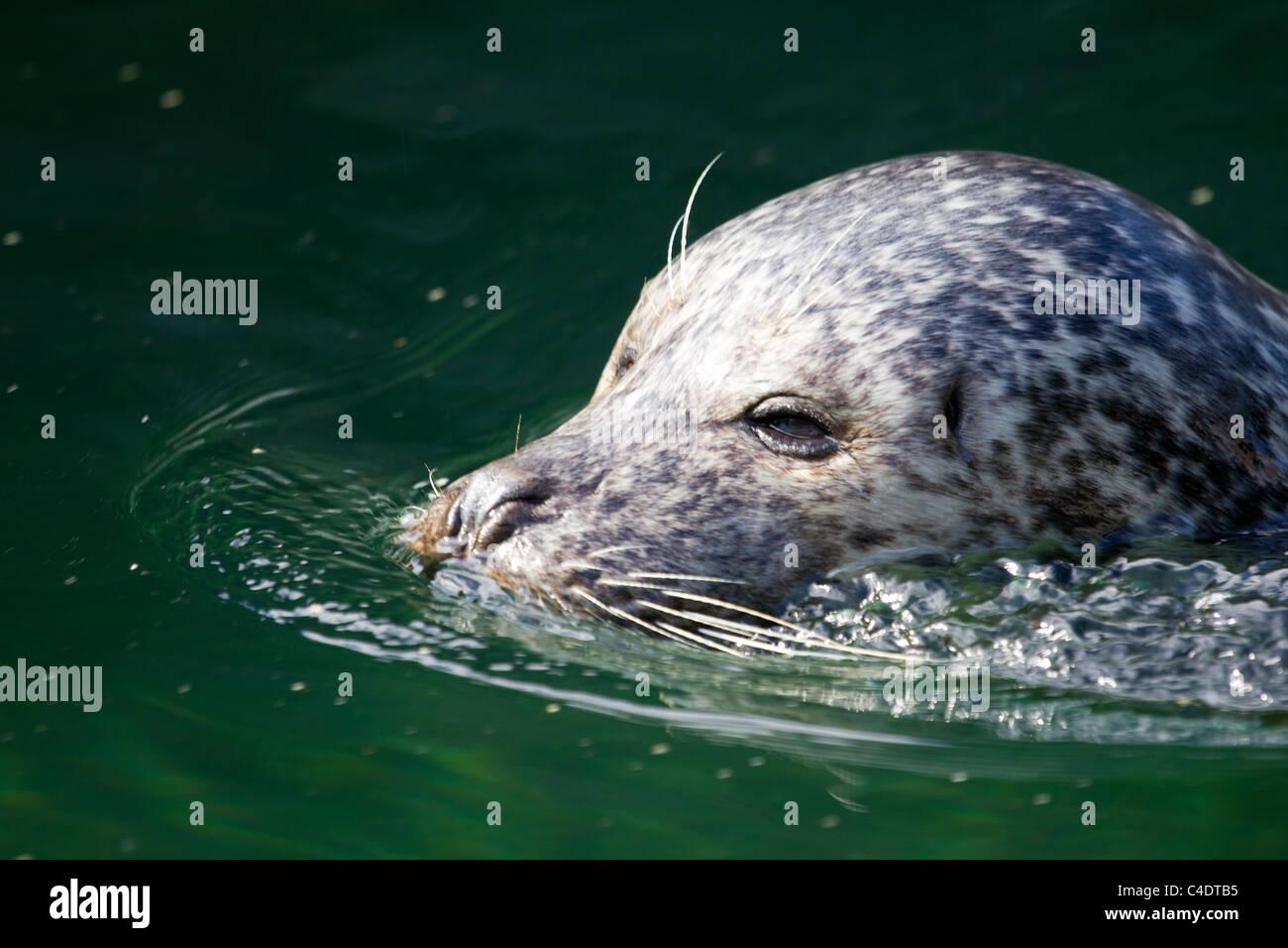 Seal - Stock Image