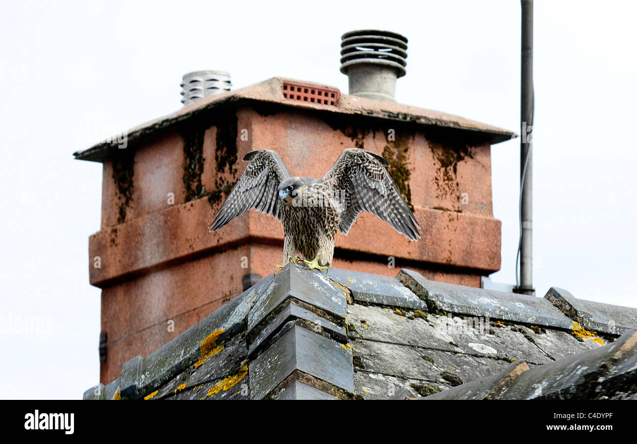 A juvenile Peregrine Falcon on a roof of a house - Stock Image