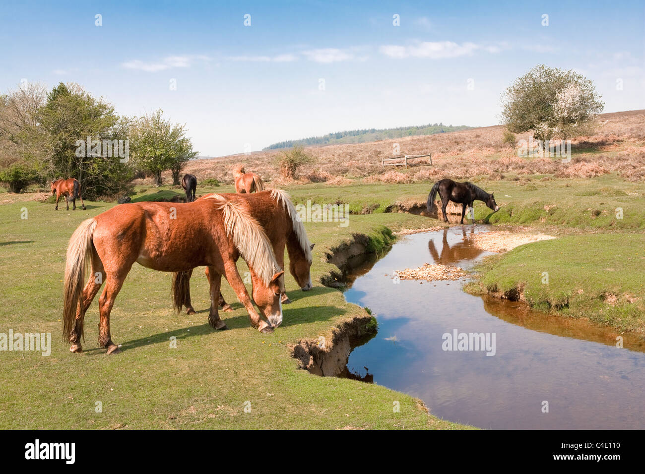 New Forest ponies near stream, Fritham, Hampshire - Stock Image