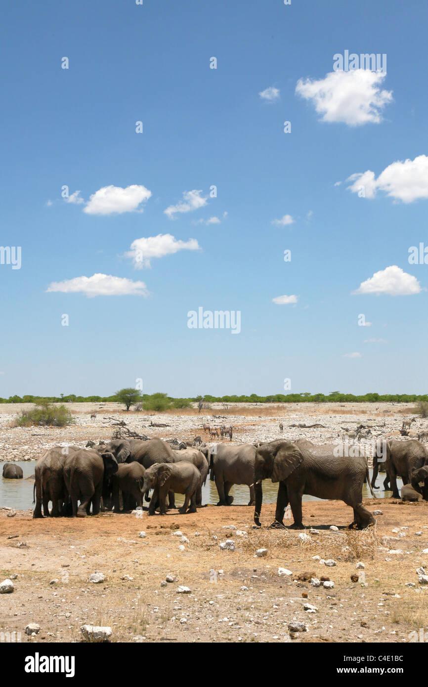 African Elephant (Loxodonta africana) at a waterhole in Etosha National Park, Namibia - Stock Image