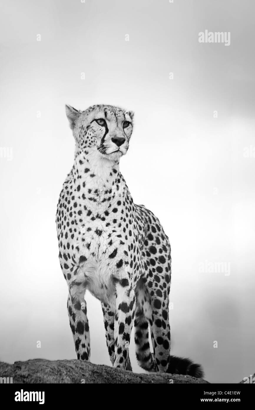 Cheetah in West Midlands Safari Park - Stock Image