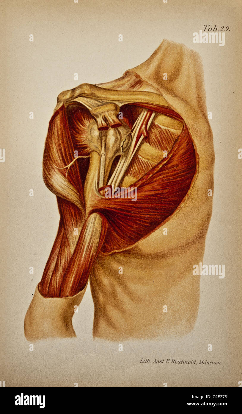 Illustration of the Human Shoulder copyright 1902 - Stock Image