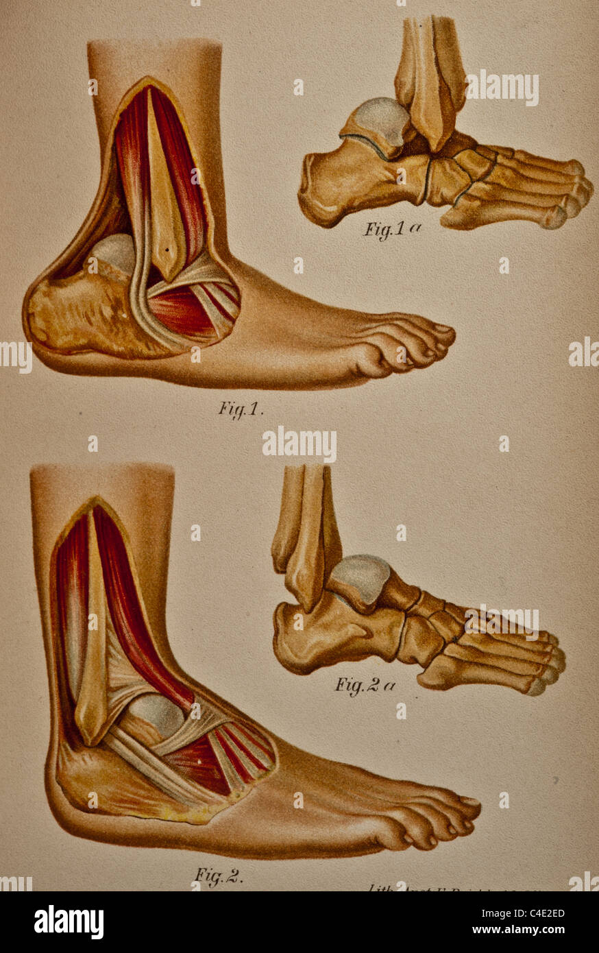 Illustration of the Human Ankle copyright 1902 - Stock Image