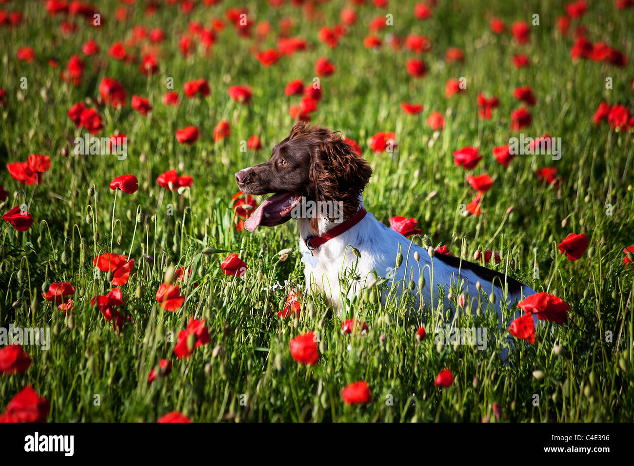 dog on the poppy field - Stock Image
