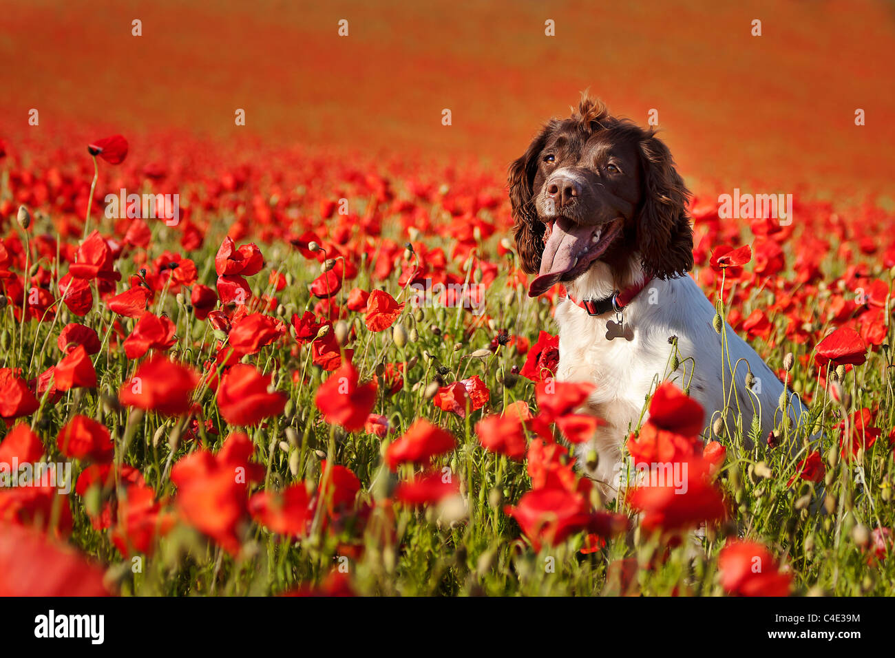dog on poppy field - Stock Image