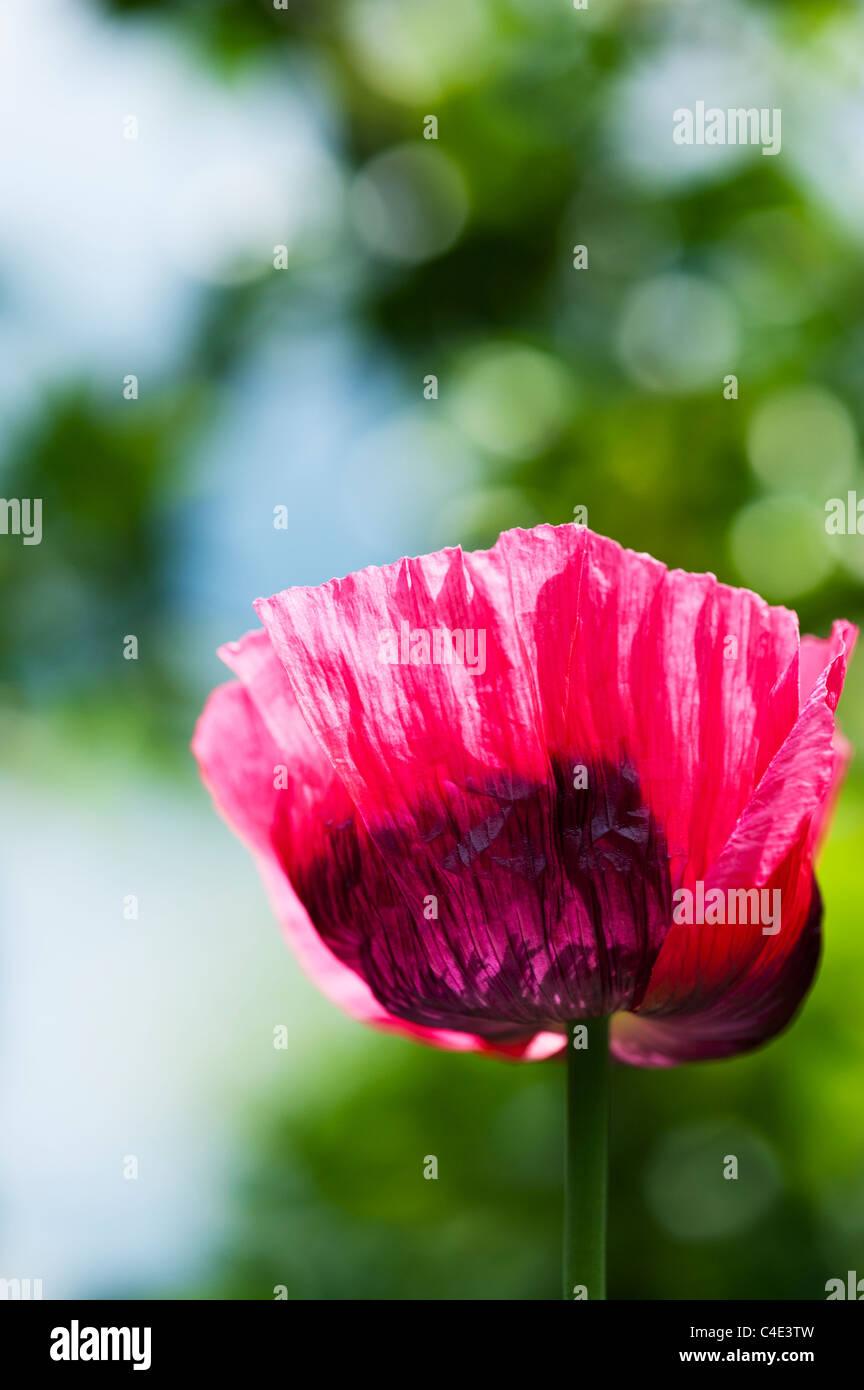 Papaver somniferum, Poppy flower Stock Photo
