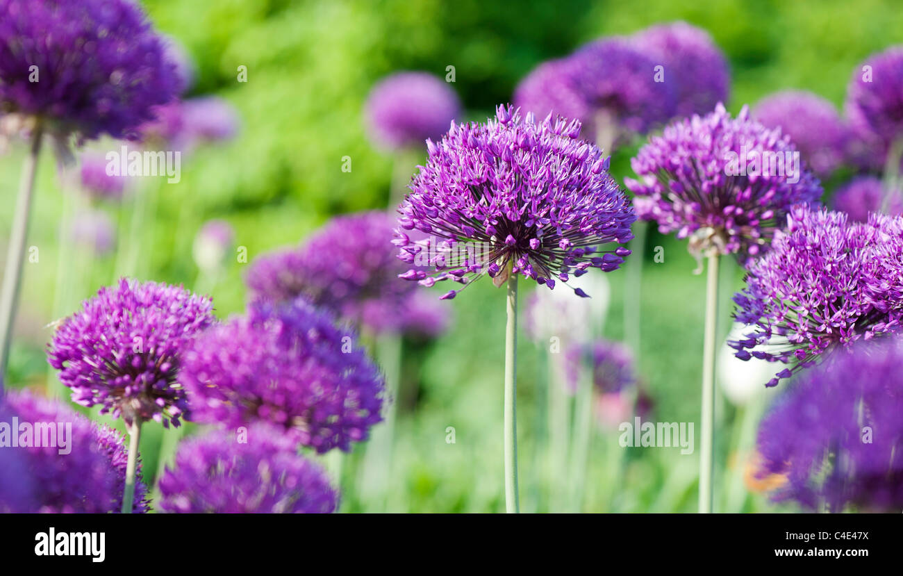Allium hollandicum 'Purple Sensation'. Ornamental Onion flowers at RHS Wisley gardens, England - Stock Image