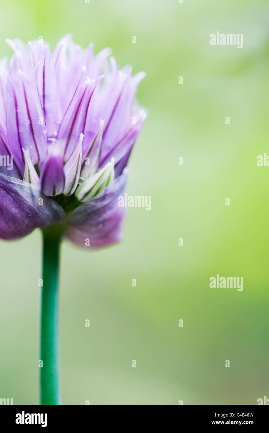 Allium schoenoprasum. Chive flower - Stock Image