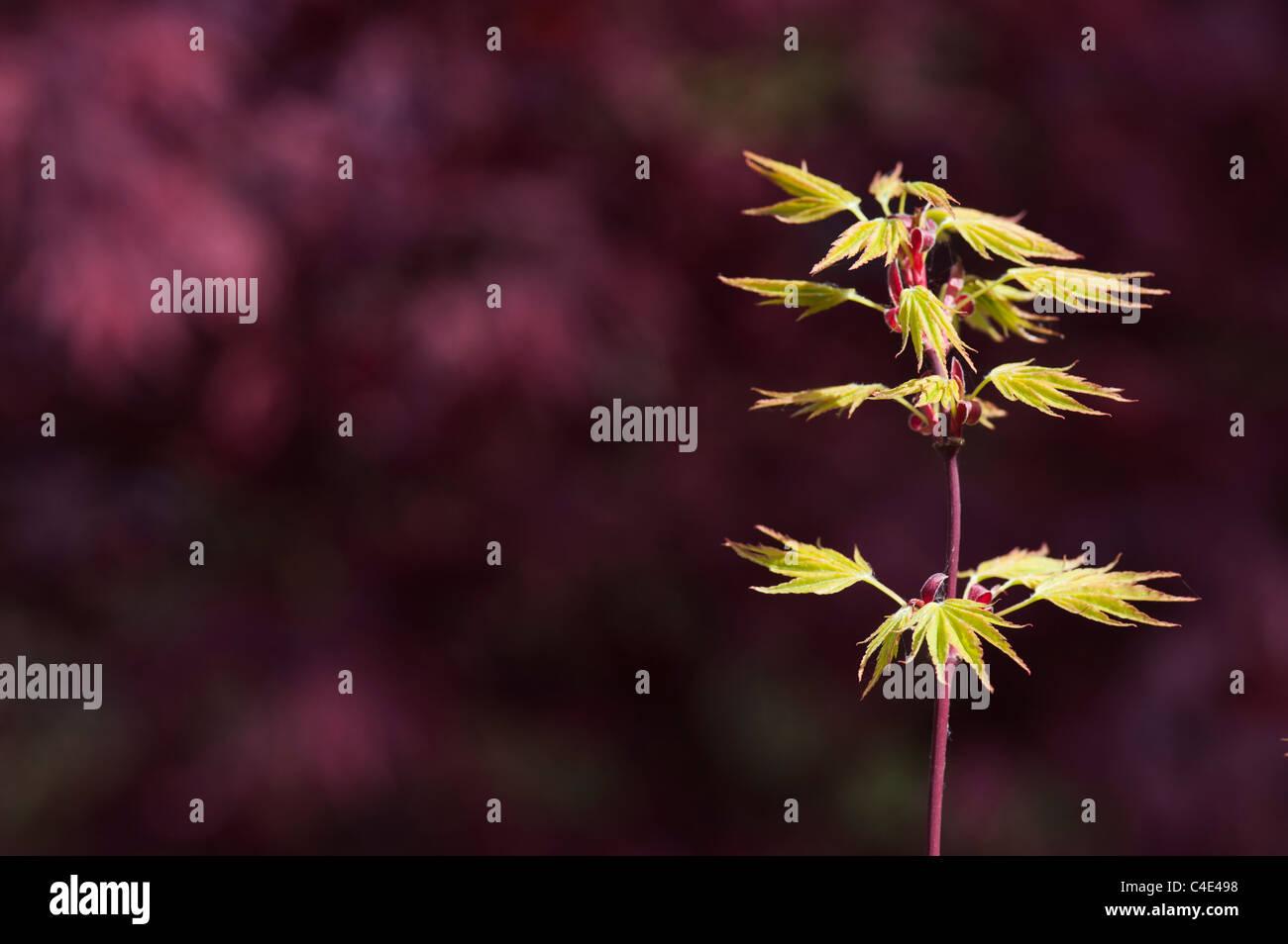 Acer Palmatum Okushimo Smooth Japanese Maple Against A Dark Stock