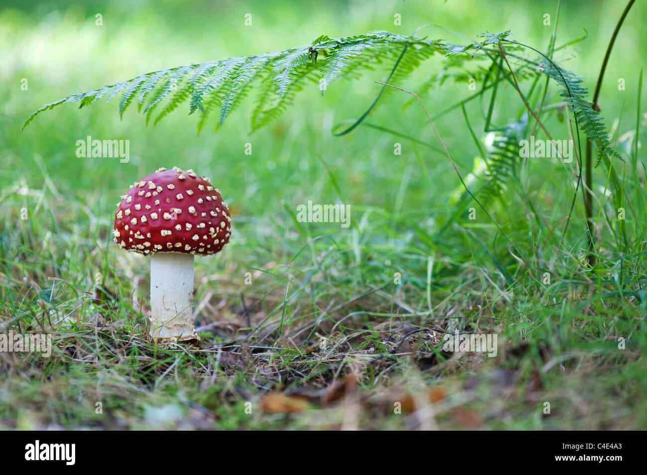 Amanita muscaria, Fly agaric mushroom growing in an english woodland. Stock Photo