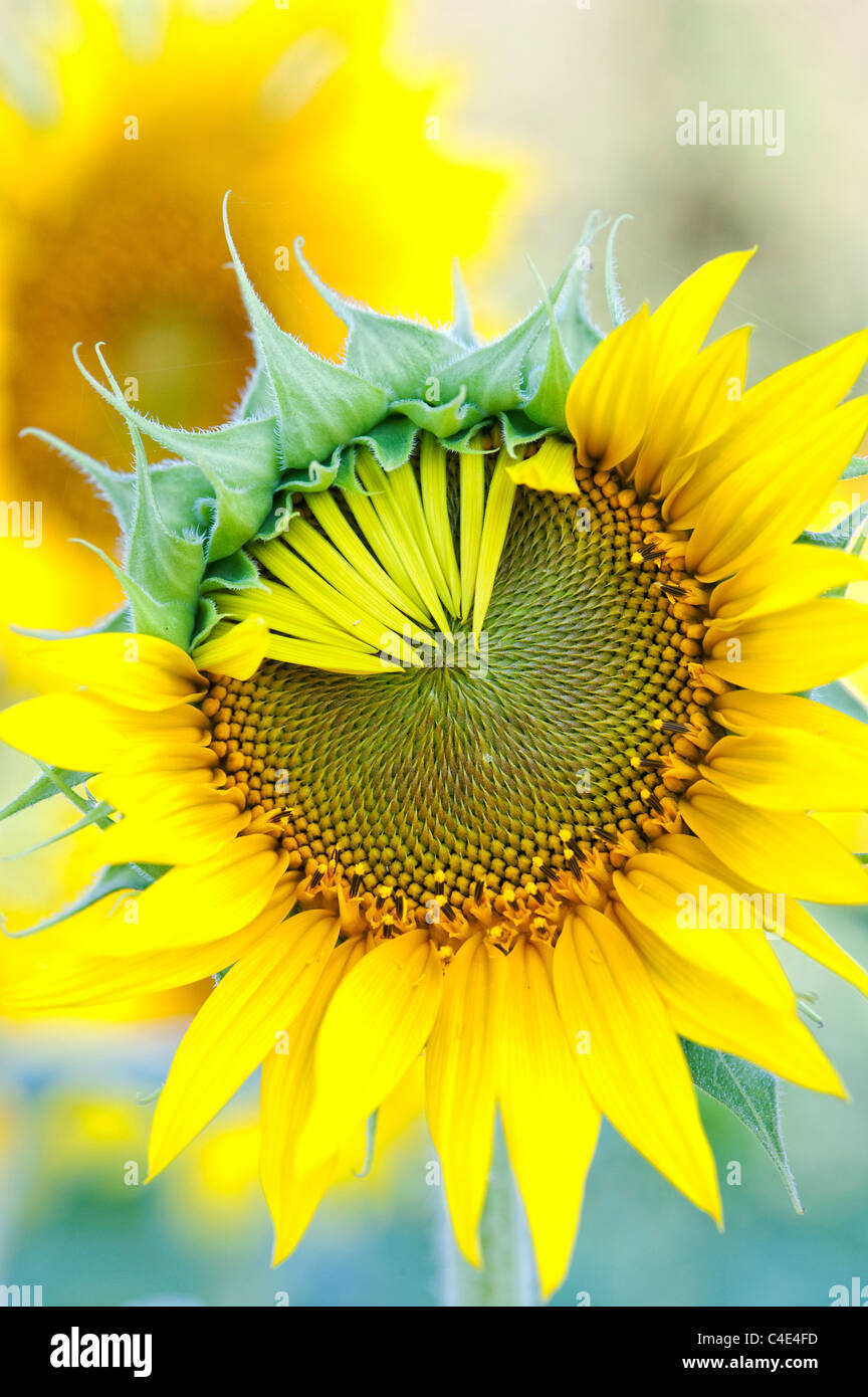 Helianthus Annuus. Sunflower petals opening in a crop in India Stock Photo
