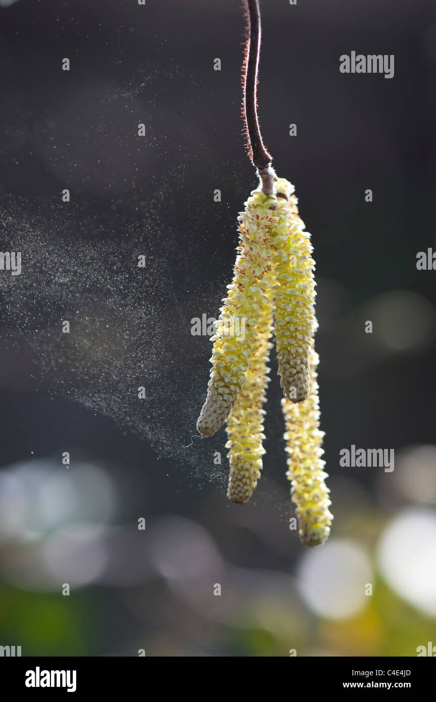 Corylus avellana, 'Contorta' . Corkscrew Hazel catkins releasing pollen Stock Photo
