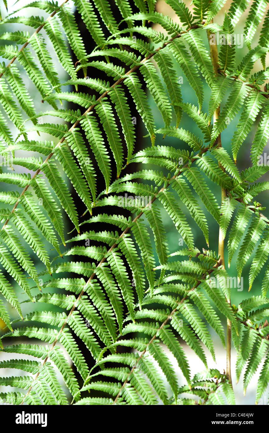 Dicksonia antarctica.Soft tree fern foliage abstract - Stock Image