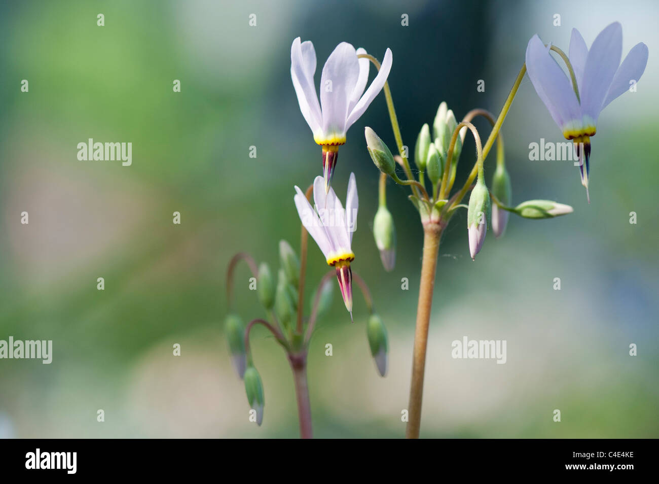 Dodecatheon pulchellum flowers. Dark-throat shooting star flowers - Stock Image