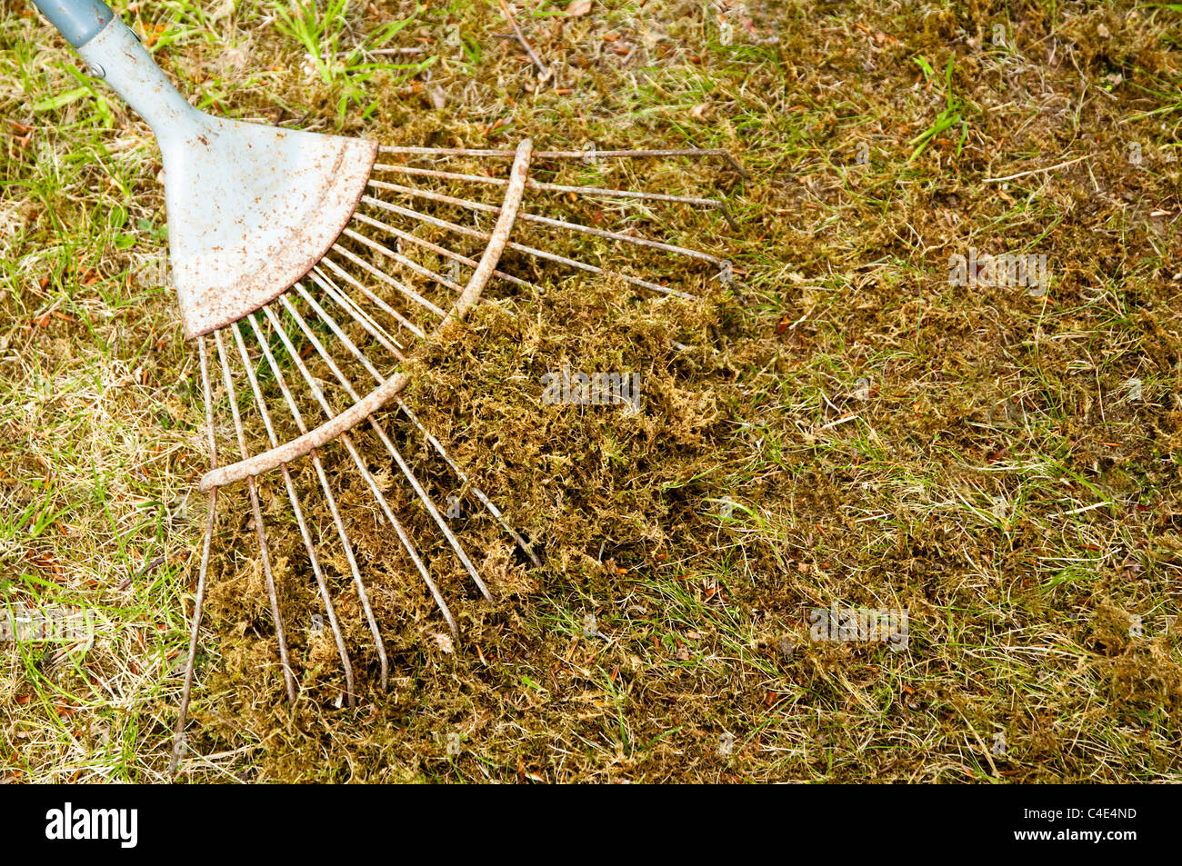 Scarifying - removing  moss from a garden lawn / grass by using a scarifier rake. UK - Stock Image