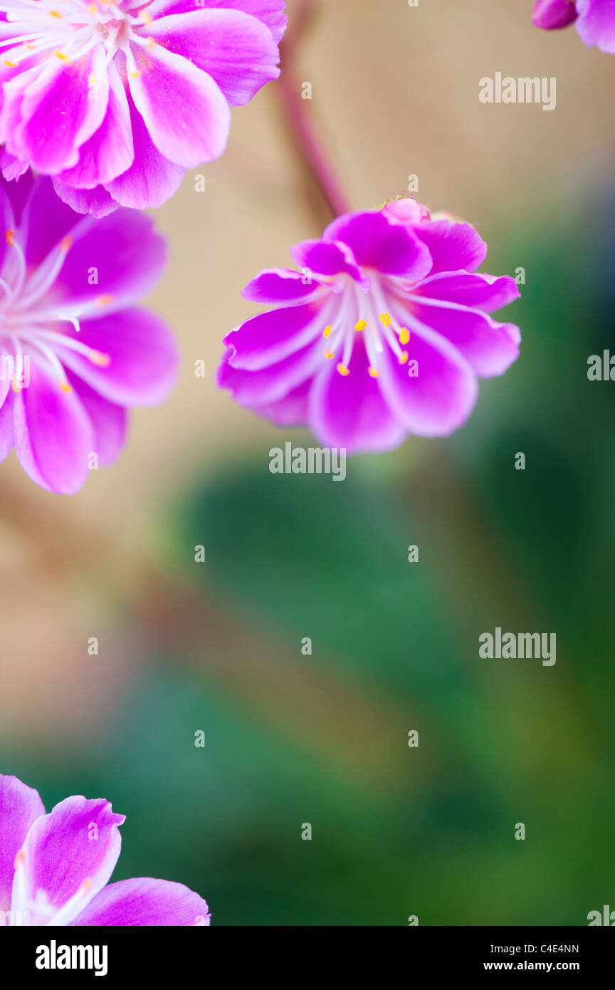 Lewisia Cotyledon Regenbogen flowers - Stock Image