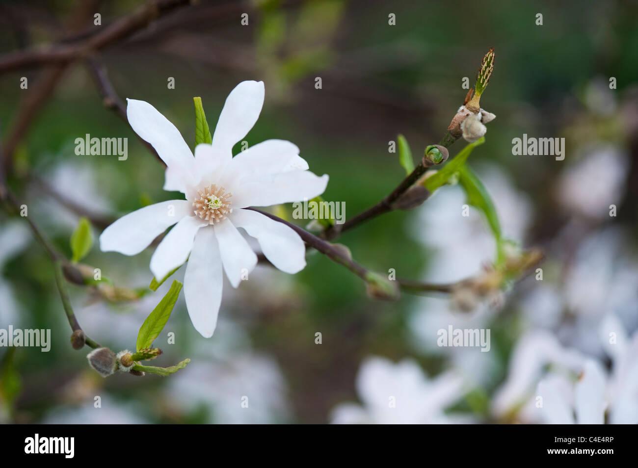 Magnolia x loebneri 'leonard messel' flower - Stock Image