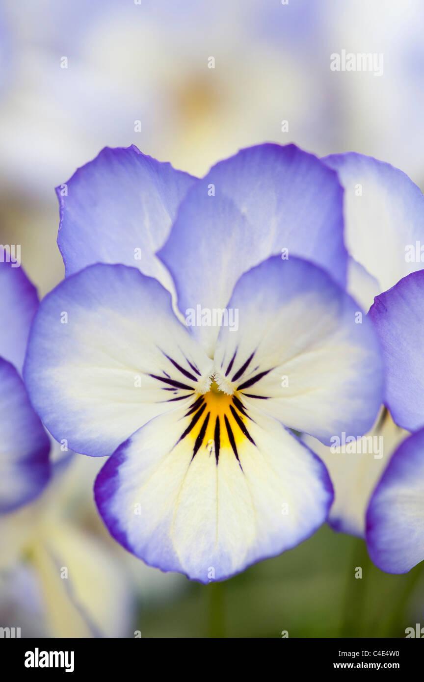 Viola Sorbet 'Coconut swirl' flowers - Stock Image