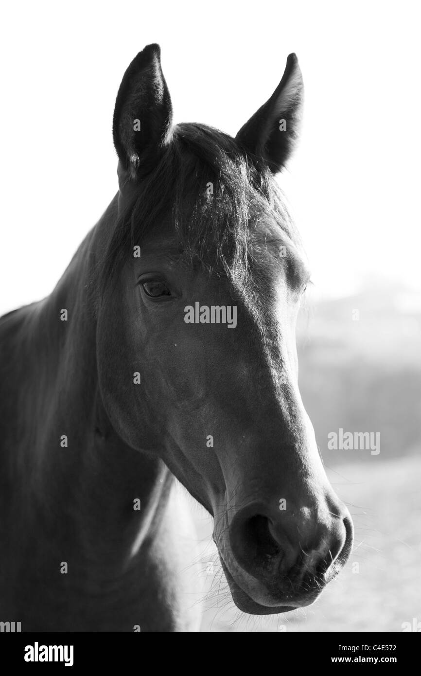 It is black a white portrait of a horse, a head of an animal Stock Photo
