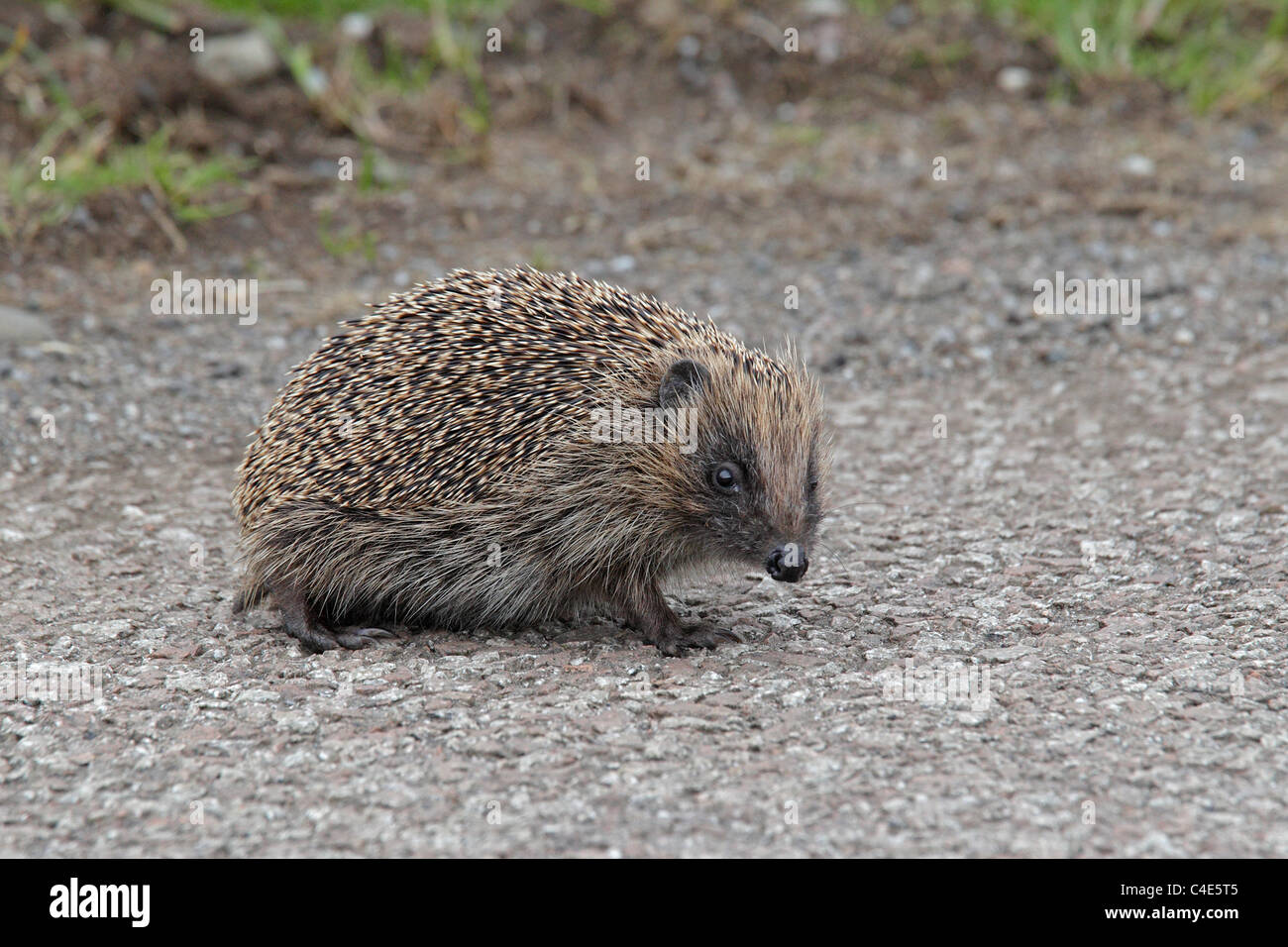 Western Hedgehog on gravel road - Stock Image