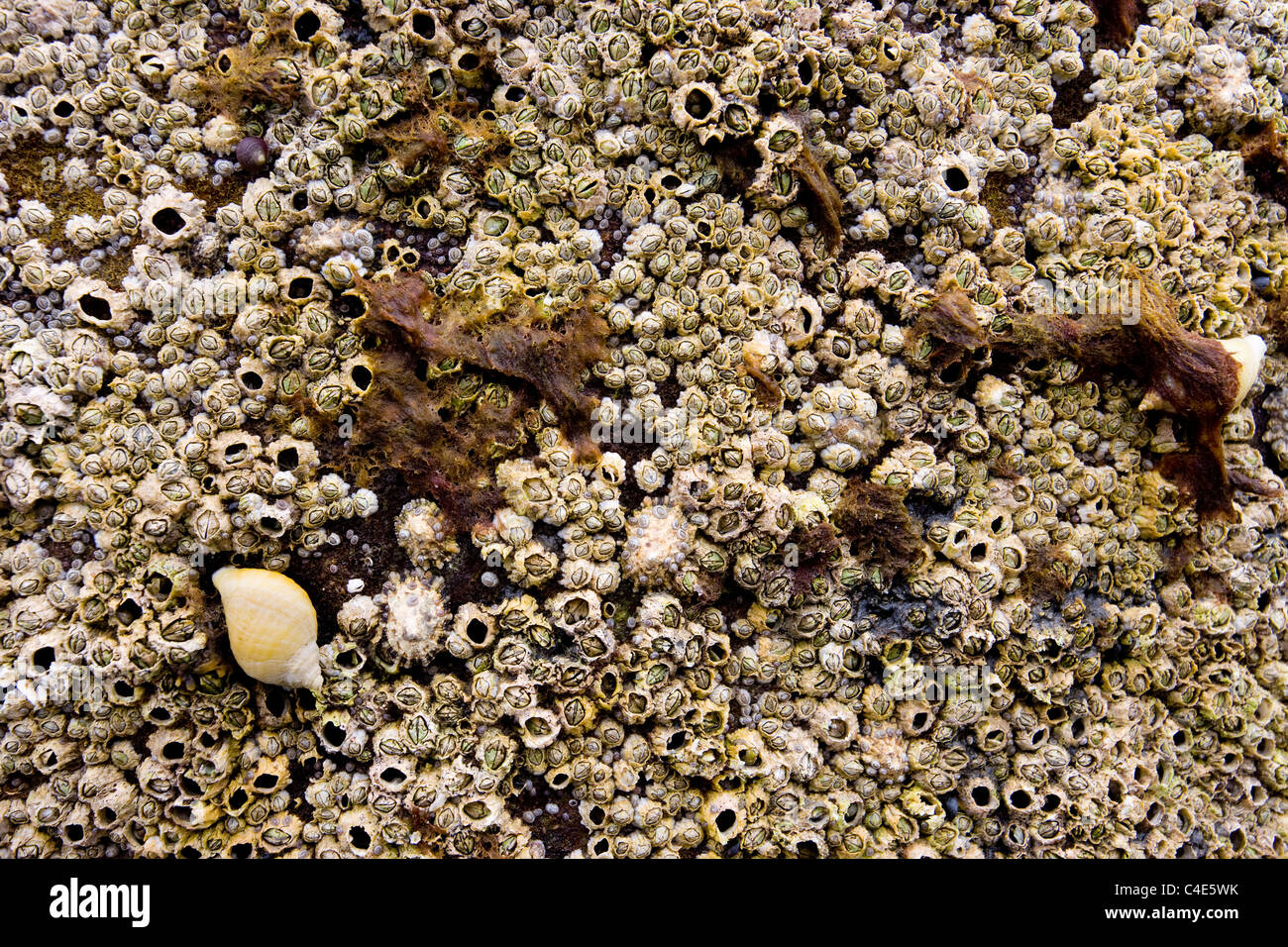 Barnacles, Limpets and Snails at Runswick Bay, East Coast Yorkshire, England Stock Photo