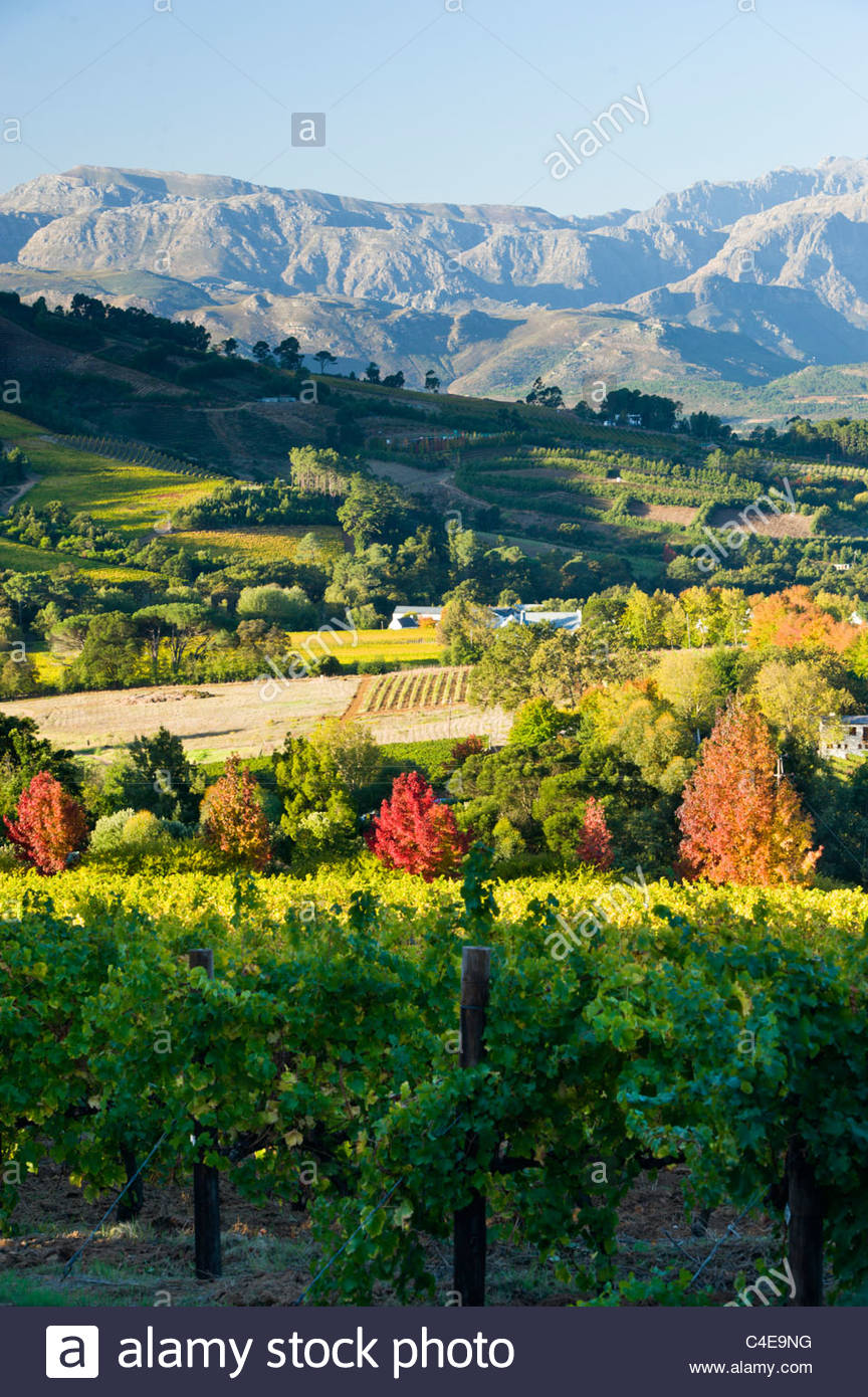 Vineyards in the Stellenbosch / Franschhoek winelands - Stock Image