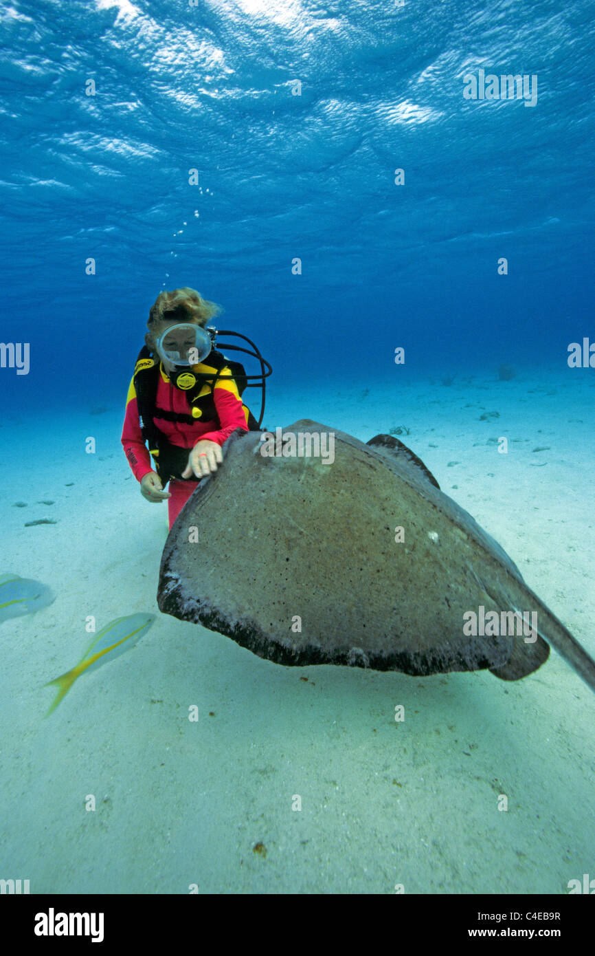 Scuba diver (woman) touch a Southern stingray (Dasyatis americana), Stingray city, Cayman islands, Caribbean sea - Stock Image