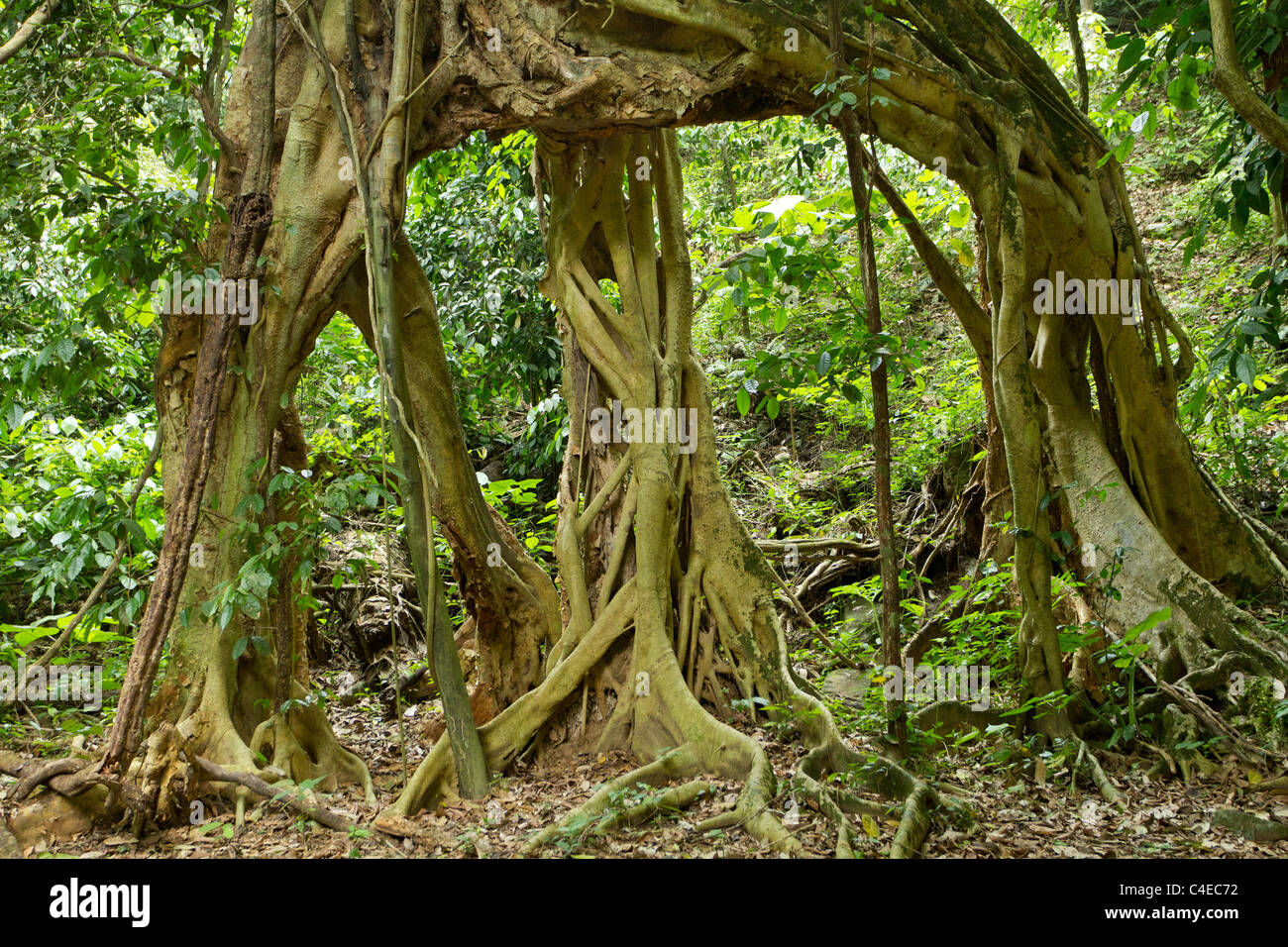 large fig tree roots in tropical rainforest, kaeng krachan national park, thailand - Stock Image