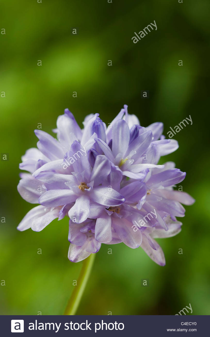 fork-toothed ookow Dichelostemma congestum summer flower bulb bulbous perennial violet lilac may garden plant - Stock Image