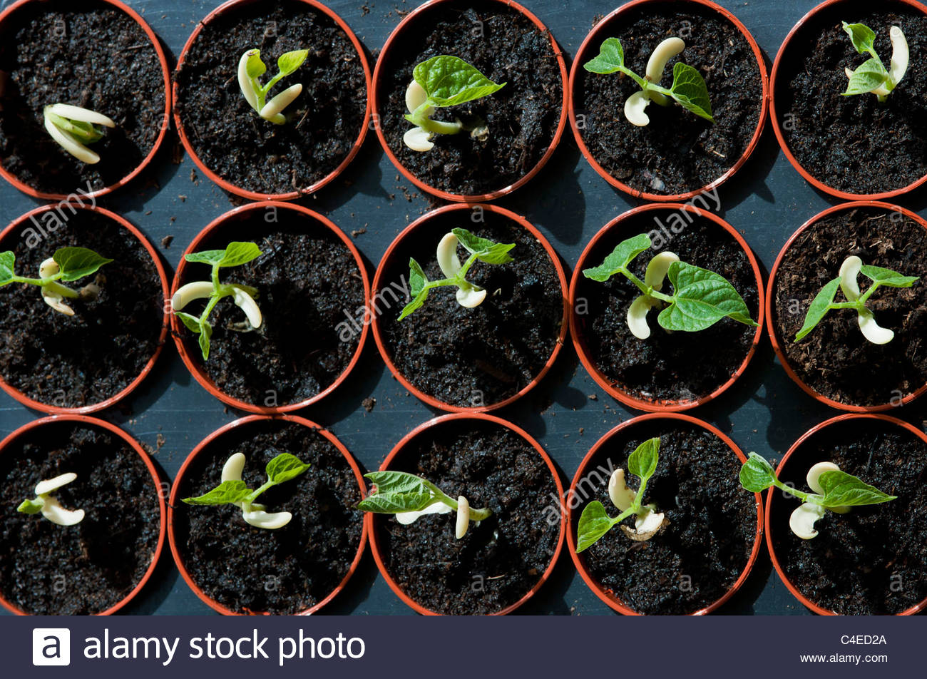 dwarf French bean Flajoly Phaseolus vulgaris 'Flajoly' String Green seedling germinating first leaf leaves - Stock Image