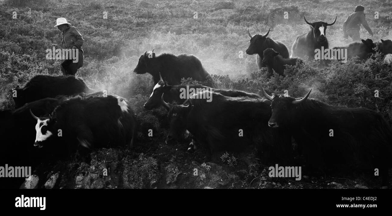 Herding yaks across route 318, near Zhe Duo Mountain, west of Kangding, Sichuan, China - Stock Image