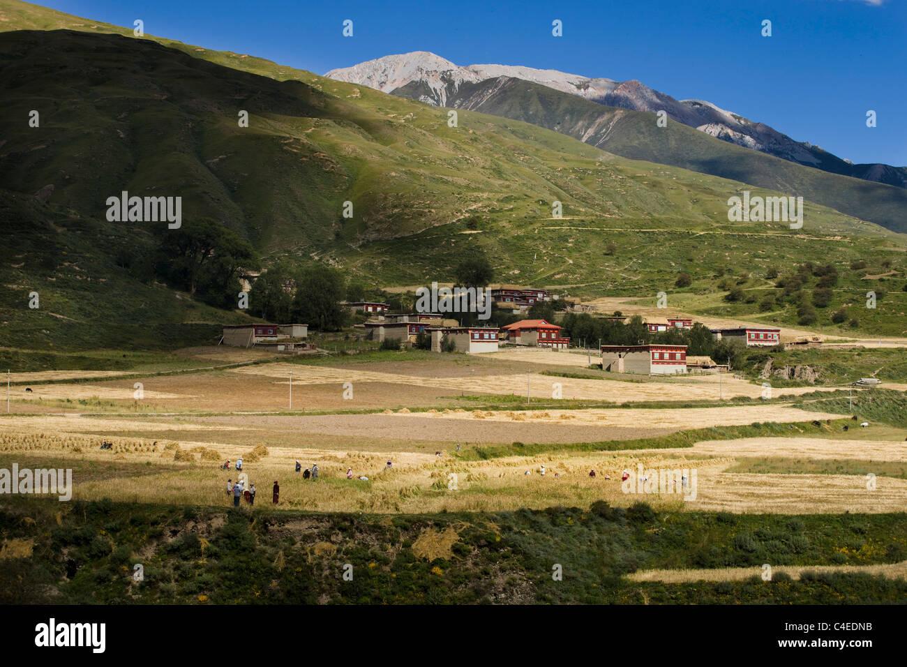 Harvest, near Ganzi, Sichuan, China - Stock Image
