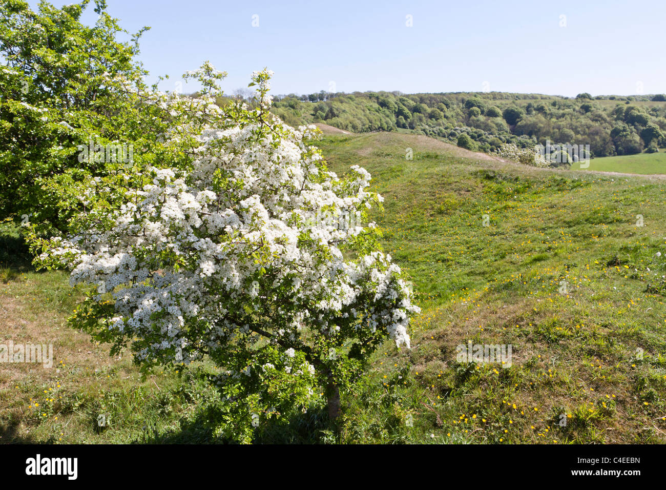 Hawthorn in blossom in springtime beside the Cotswold Way National Trail on Haresfield Hill, Gloucestershire, England - Stock Image